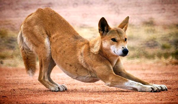 Фото: Австралийский динго
