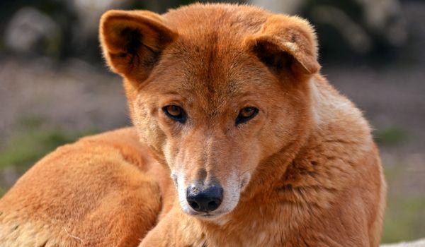 Фото: Дикая собака динго