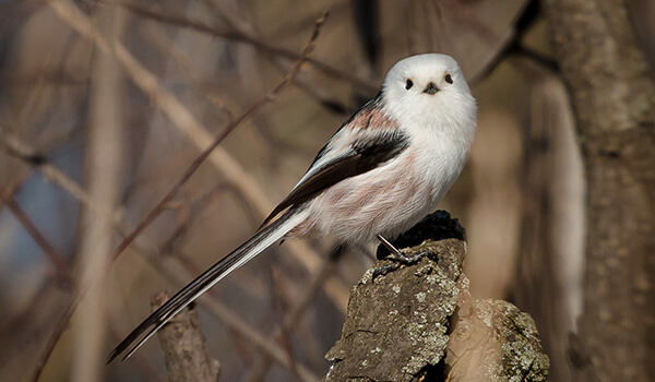 Фото: Птица длиннохвостая синица