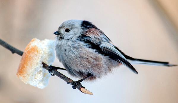 Фото: Длиннохвостая синица, или ополовник