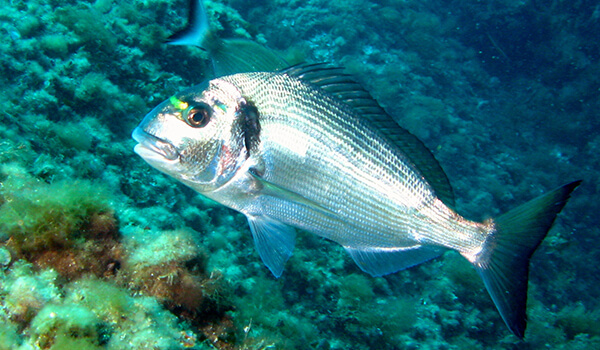 Фото: Морская рыба дорадо