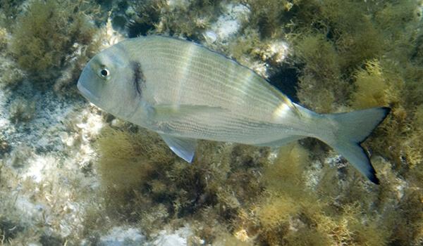 Фото: Рыба дорадо