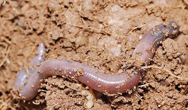 Фото: Дождевой червь