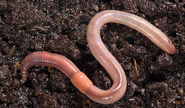 Фото: Дождевой червь на земле
