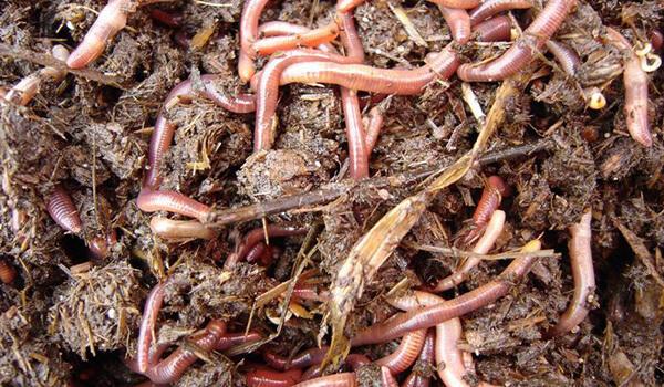 Фото: Дождевые черви на участке