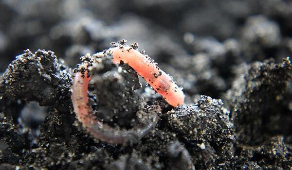 Фото: Дождевой червь в России
