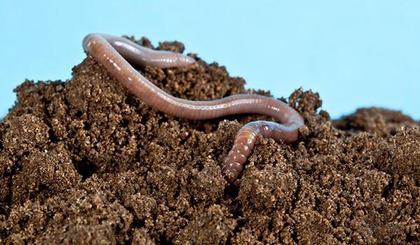 Фото: Большой дождевой червь