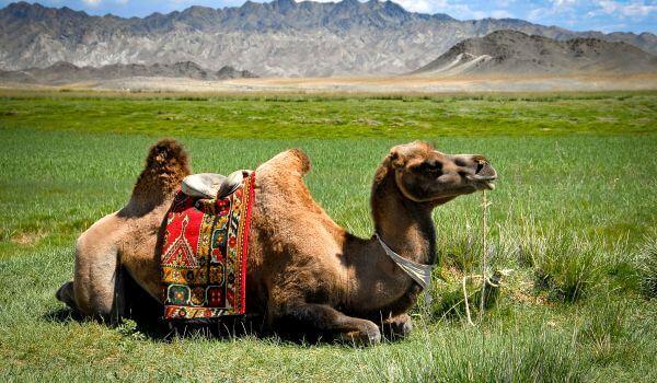 Фото: Двугорбый верблюд