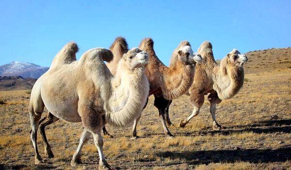 Фото: Двугорбые верблюды