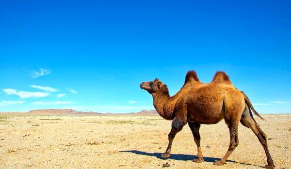 Фото: Двугорбый верблюд из Красной книги