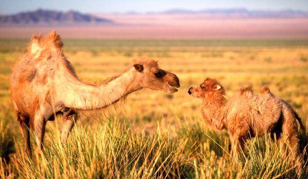 Фото: Детеныш двугорбого верблюда
