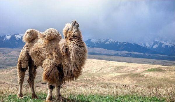 Фото: Двугорбый верблюд в Монголии