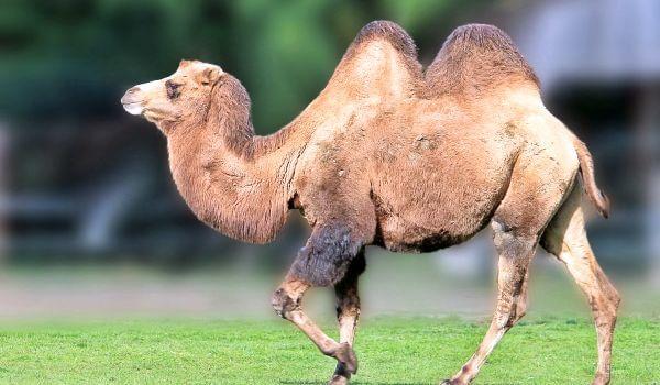 Фото: Двугорбый верблюд, или бактриан