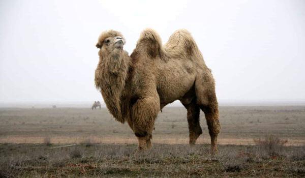 Фото: Двугорбый верблюд в пустыни