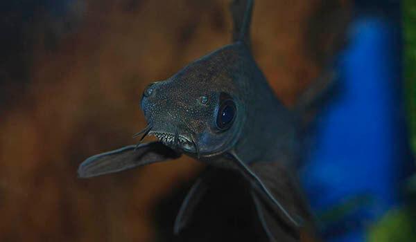 Фото: Рыба двухцветный лабео