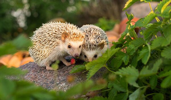 Фото: Пара обыкновенных ежей