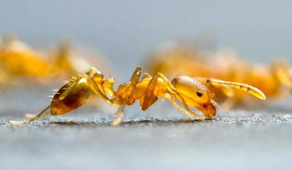 Фото: Фараонов муравей