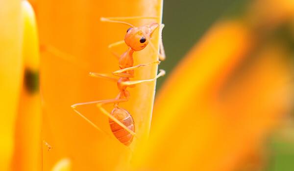 Фото: Насекомое фараонов муравей
