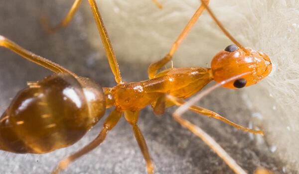 Фото: Как выглядит фараонов муравей