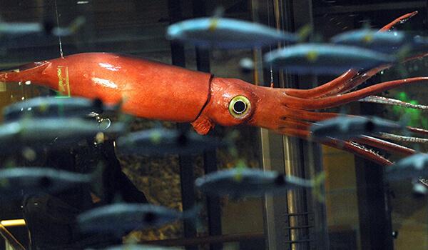 Фото: Глаза гигантского кальмара