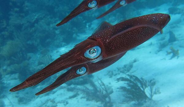 Фото: Гигантский кальмар архитеутис