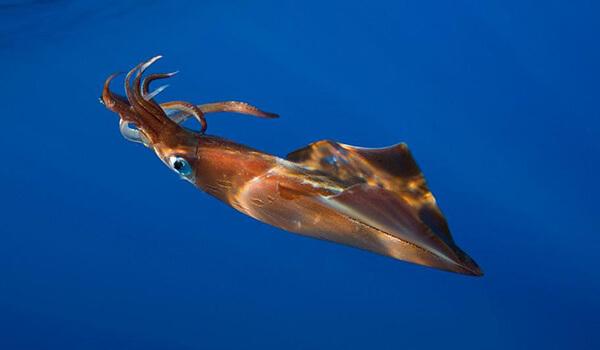 Фото: Как выглядит гигантский кальмар