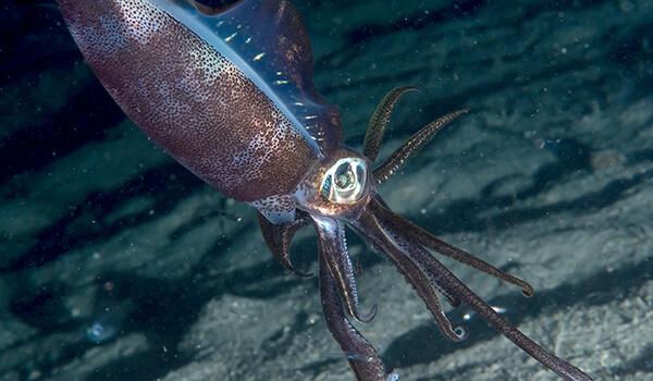 Фото: Гигантский кальмар в океане