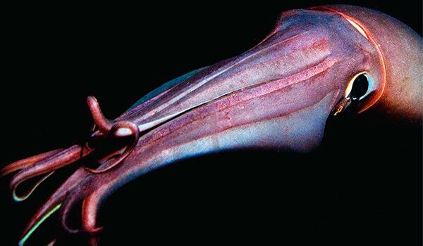 Фото: Гигантский кальмар