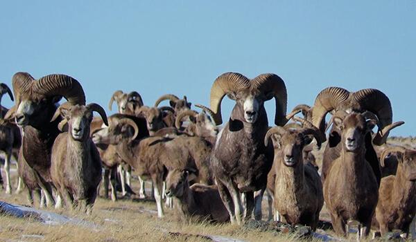 Фото: Стадо горных баранов