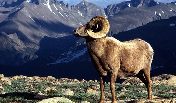 Фото: Как выглядит горный баран