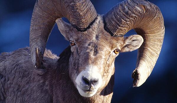 Фото: Горный баран, или архар