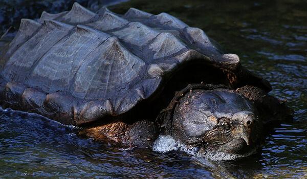 Фото: Грифовая черепаха в природе