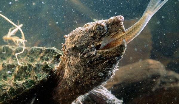 Фото: Грифовая черепаха в США
