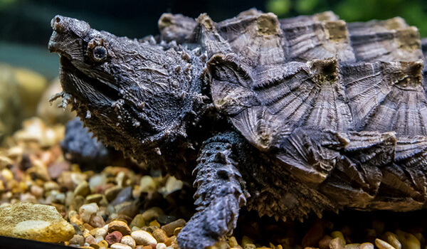 Фото: Грифовая. или аллигаторовая черепаха