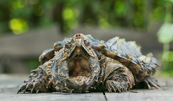 Фото: Аллигаторовая черепаха