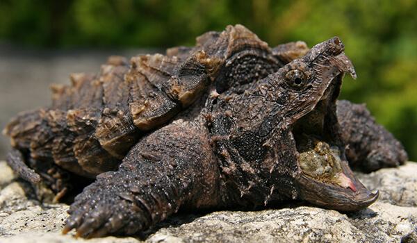 Фото: Грифовая черепаха из Красной книги