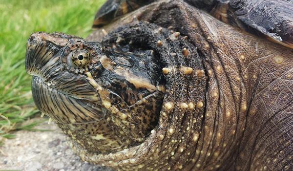Фото: Грифовая черепаха