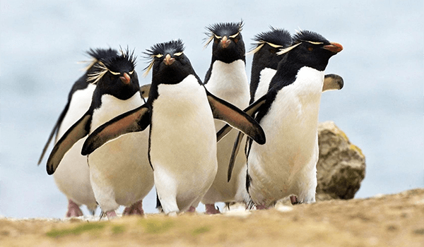 Фото: Семья хохлатых пингвинов