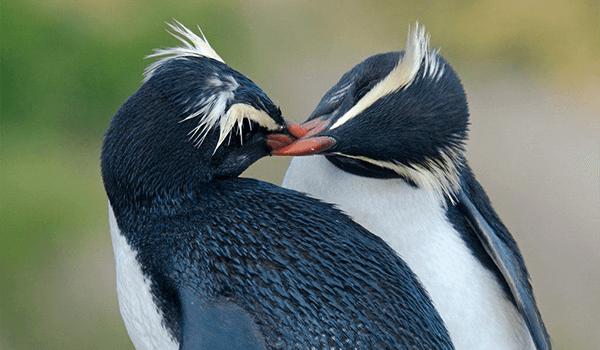 Фото: Пара хохлатых пингвинов