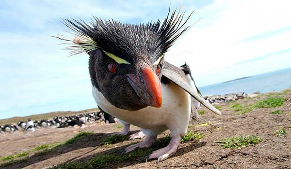 Фото: Как выглядит хохлатый пингвин