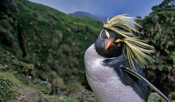 Фото: Хохлатый пингвин