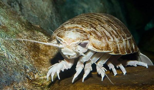 Фото: Морской изопод