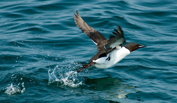 Фото: Морская птица кайра