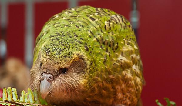 Фото: Попугай какапо