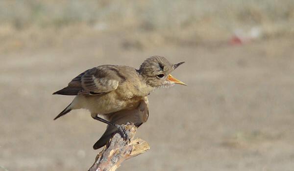 Фото: Птица каменка