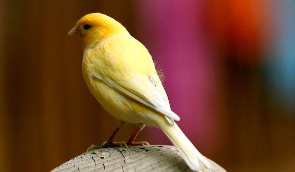 Фото: Птица канарейка