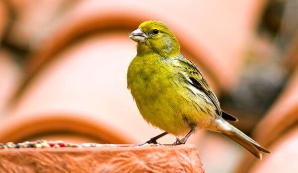 Фото: Певчая птица канарейка