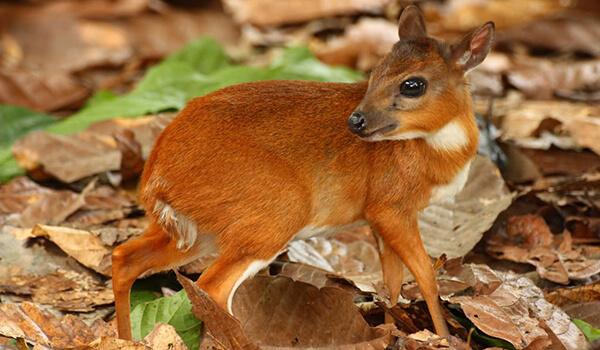 Фото: Карликовая антилопа в природе