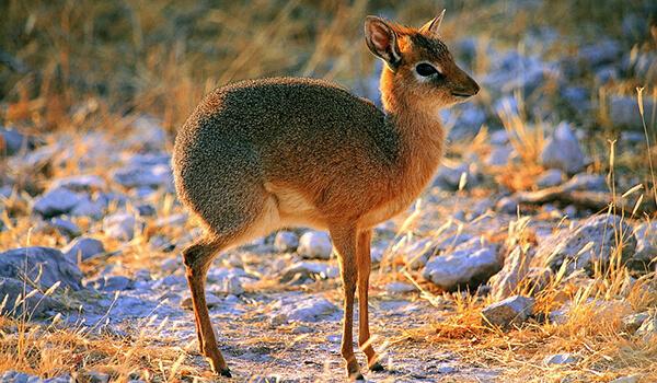 Фото: Карликовая антилопа