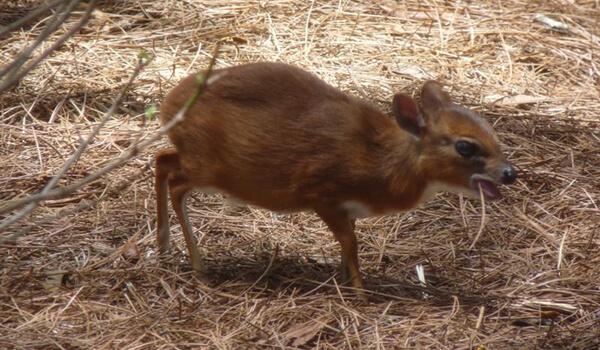 Фото: Как выглядит карликовая антилопа